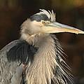 Great Blue Heron Portrait by Daniel Behm