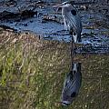 Great Blue Heron Reflection by Ron  Maxie