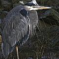 Great Blue Heron by Rob Mclean