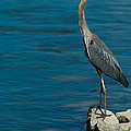 Great Blue Heron by Sebastian Musial