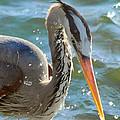 Great Blue Heron Splish Splash by Ann Michelle Smith