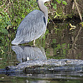 Great Blue Heron Standing In Water by Jit Lim