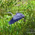 Great Blue Heron  by Stephen Whalen