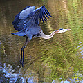 Great Blue Heron Taking Off by Diana Haronis