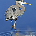 Great Blue Heron by Timothy Flanigan