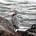 Great Blue Heron by Trina  Ansel