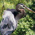 Great Blue Heron Vi by Susan Molnar