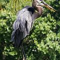 Great Blue Heron Vii by Susan Molnar