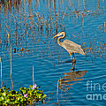 Great Blue Heron Wading by Anne Kitzman