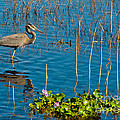 Great Blue Heron Wading II by Anne Kitzman
