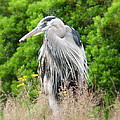 Great Blue Heron Watching And Waiting by Brian Chase