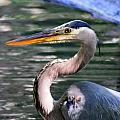 Great Blue Heron Whiskers by Sheri McLeroy