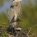 Great Blue Heron With Chicks Florida by Tom Vezo