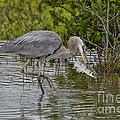 Great Blue Heron With Fish by Anthony Mercieca