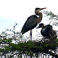 Great Blue Heron With Fledglings II by Suzanne Gaff