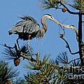 Great Blue Heron With Nest Material by Anthony Mercieca