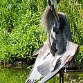 Great Blue Heron Yoga by Lucy Howard