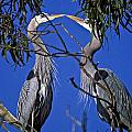 Great Blue Herons by Howard Stapleton