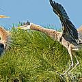 Great Blue Herons by Millard H. Sharp