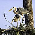 Great Blue Herons Nesting by Fran Gallogly
