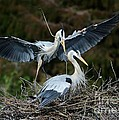 Great Blue Herons Nesting by Sabrina L Ryan