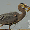 Great Blue Herron Eating Fish by Em Witherspoon