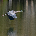 Great Blue Over Green by Paul Rebmann