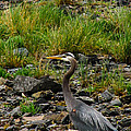 Great Blue by Robert Bales