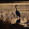 Great Blue Silhouette by Deanna Cagle