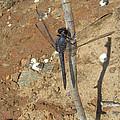 Slaty Skimmer Dragonfly Shadow by Donna Brown