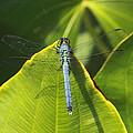 Great Blue Skimmer by Greg Thiemeyer
