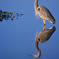 Great Blue Wading by Patrick M Lynch
