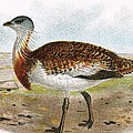 Great Bustard by English School