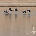 Great Cormorant In Flight by Jivko Nakev