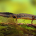 Great Crested Newt Or Water Dragon by Dirk Ercken