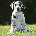 Great Dane Puppy by Johan De Meester