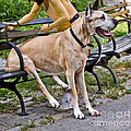 Great Dane Sitting On Park Bench by Madeline Ellis