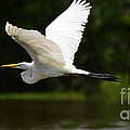 Great Egret Amazon River by Bob Christopher