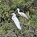 Great Egret And Roseate Spoonbill by Carol  Bradley