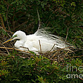 Great Egret by Anthony Mercieca