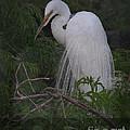 Great Egret by Art Whitton