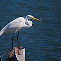 Great Egret At His Post by John M Bailey