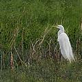 Great Egret by Belinda Greb