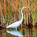 Great Egret by Christine Dekkers