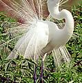 Great Egret Courtship Display by Millard H. Sharp