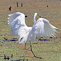 Great Egret Dancing In Auroraville by Chris Tennis