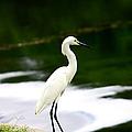 Great Egret by Debra Forand