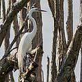 Great Egret by Ed Gleichman