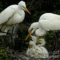 Great Egret Family 2 by Bob Christopher