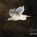 Great Egret Flying By by Bryan Keil